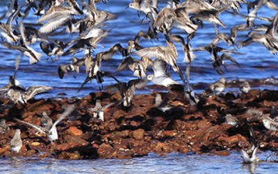 Putnu kontrole izgāztuvēs un notekūdeņu attīrīšanas iekārtās